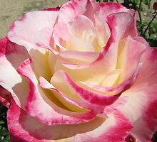 'Double Delight' Rose, Rose Garden, Beaufort, Country Town, Vic. by Rita Blom