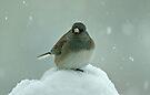 Dark-Eyed Junco in the Snow by Sandy Keeton