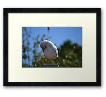 Seagull Tucking His Beak In Wings Framed Print