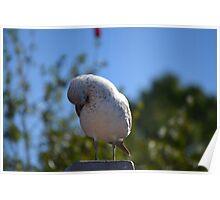 Seagull Tucking His Beak In Wings Poster