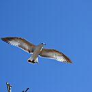 Seagull In Mid-Flight by Sean Paulson