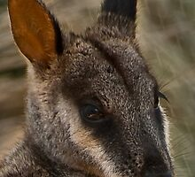 Rock Wallaby 2 by DavidsArt