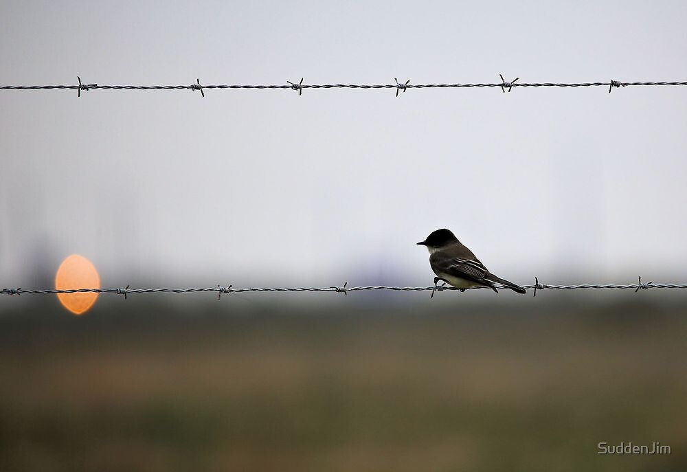 Eastern Phoebe On Barbed Wire by SuddenJim