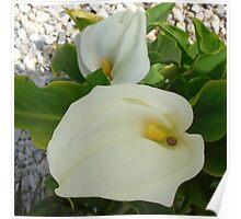 Overhead View Of Two Calla Lilies In A Garden Poster