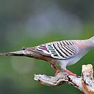 Crested Pigeon. Cedar Creek, Qld, Australia. by Ralph de Zilva