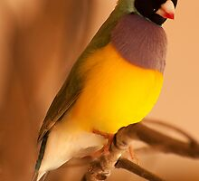 Colourful Bird  by DavidsArt