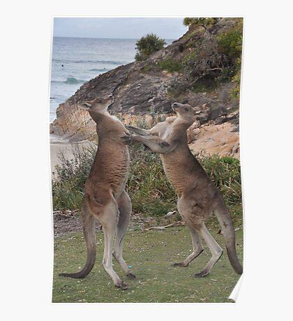 Boxing kangaroos on the beach Poster