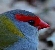 Red-Browed Finch by Leslie-Ann