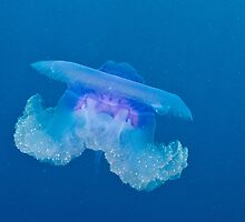 Blue Crown Jellyfish by Mark Rosenstein