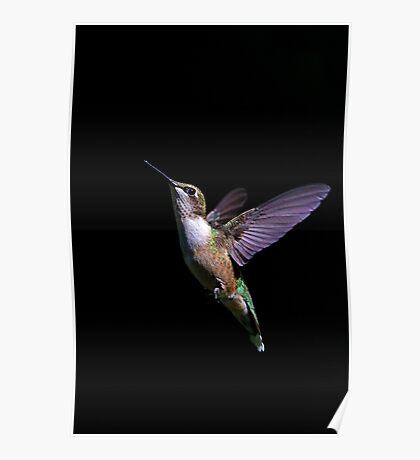 Free - Ruby throated Hummingbird Poster