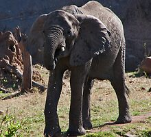 Dribbling Elephant by phil decocco