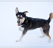 Black and White Husky Playing in the Snow by Crystal Wightman