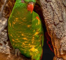 Green Parrot 1 by DavidsArt
