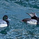 Two Lesser Scaup Ducks, One Up One Down by Gerda Grice