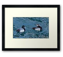 Two Lesser Scaup Ducks, One Up One Down Framed Print