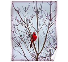 Cardinal in the Dogwood Tree in December Poster