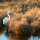 Great White Egret - Chincoteague National Wildlife Refuge, Virginia  by Jason Heritage