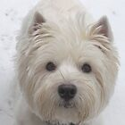 Westie  White by MarianBendeth