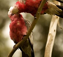 Galahs Kissing by Fred O'Donnell