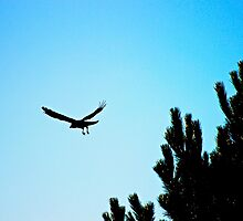 Crow flying by ejrphotography