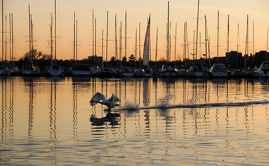 The Golden Takeoff - Swan, Sunset and Yachts at a Marina in Toronto, Canada by Georgia Mizuleva