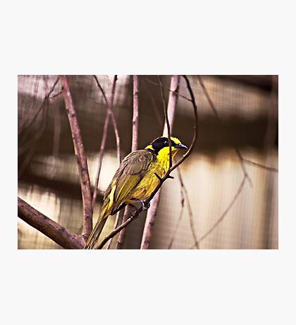 Honeyeater Photographic Print