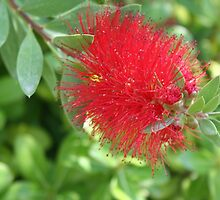 Beautiful Bottle Brush Flower With Garden Background by taiche