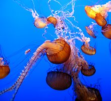 Pacific Sea Nettles by Nathan Jekich