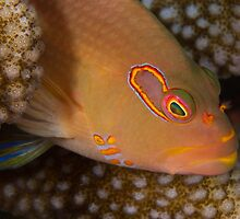 Arc-eye Hawkfish by Mark Rosenstein