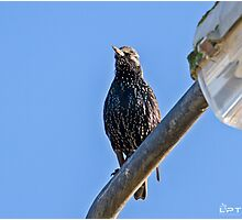 Starling On The Post.. Photographic Print