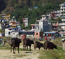 Water Buffalo, Lake Side, Pokhara by wiggyofipswich