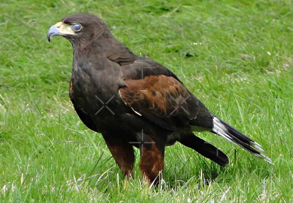Harris Hawk - Parabuteo unicinctus by Barrie Woodward