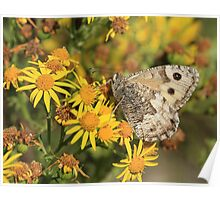 Grayling Butterfly nectaring on Ragwort flowers, Cumbria Poster