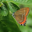 Black Hairstreak Butterfly on Blackthorn leaves, Oxfordshire by Michael Field