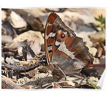 Purple Emperor Butterfly (underside) on dirt track, Northants Poster