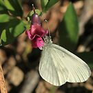 Wood White Butterfly on Vetchling flower, Herefordshire by Michael Field