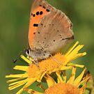 Small Copper Butterfly on Fleabane flowers, St Mellons, Wales by Michael Field