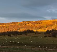 Lambs Sundown by JASPERIMAGE