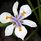 Fairy Iris by Rina Greeff