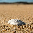 Solitary Shell - Assateague Island National Seashore, Maryland by Jason Heritage