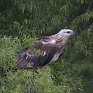 Juvenile Sea Eagle  On a Miserable Day No 1 by Kym Bradley
