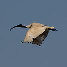 White Ibis in Flight by Kym Bradley