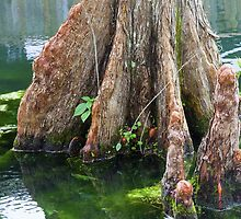 Bald Cypress in Water by Diane Macdonald