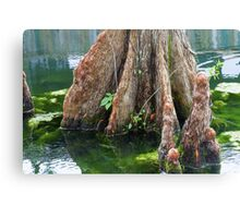 Bald Cypress in Water Canvas Print