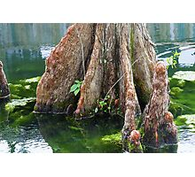 Bald Cypress in Water Photographic Print