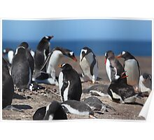 Gentoo Penguins Rookery Poster