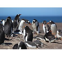Gentoo Penguins Rookery Photographic Print