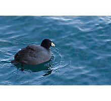 American Coot at Harbourfront Photographic Print