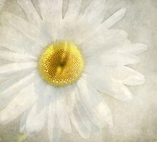 Wintry Daisy by Kathilee
