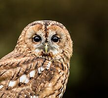Tawny Owl portrait by dulciemaephotos